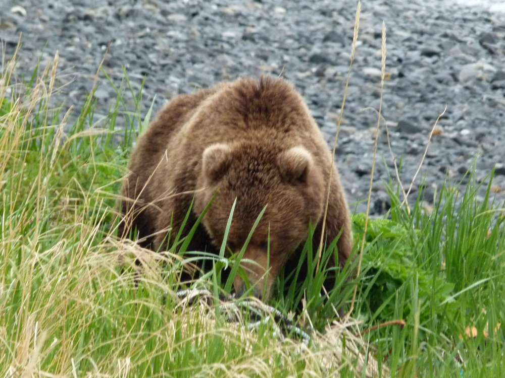This bear was interested in a helping of fresh green vegetation at Trap-6, just like us. There are about 3,500 Kodiak bears on the island, and 14,00 people. They are the largest brown bears in the world because they've been isolated from other brown bears for 12,000 years, they have a rich diet of salmon, and most of the island is National Wildlife Refuge, free of development.