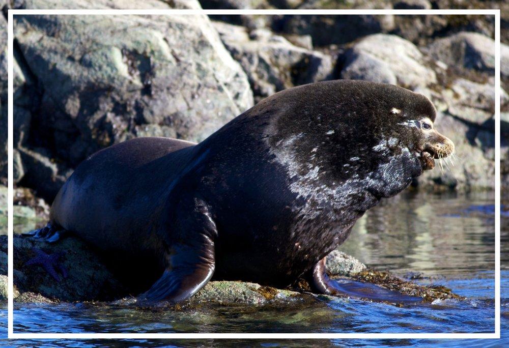Sea Lion Vancouver Island