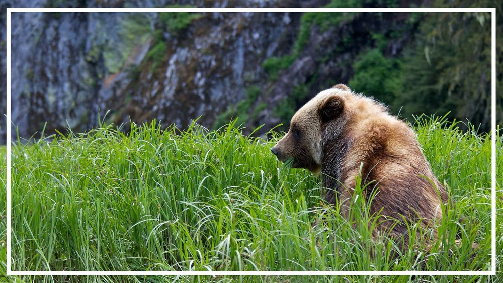 Bear Vancouver Island