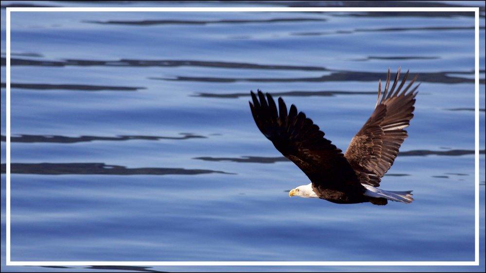 Eagles Vancouve Island