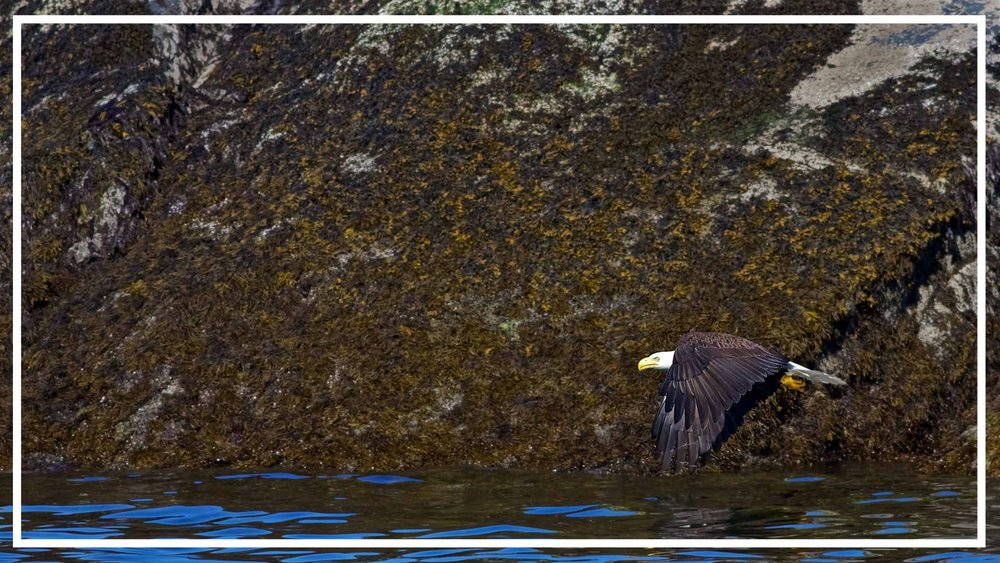 Eagle in Flight Vancouver Island