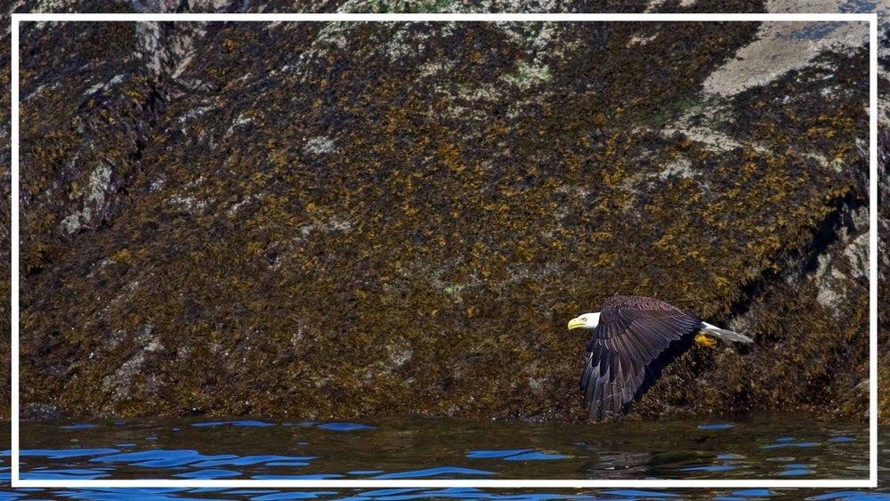 Eagle in Flight Vancouver Island