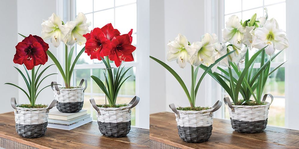 amaryllis  in baskets - double image 1000.jpg