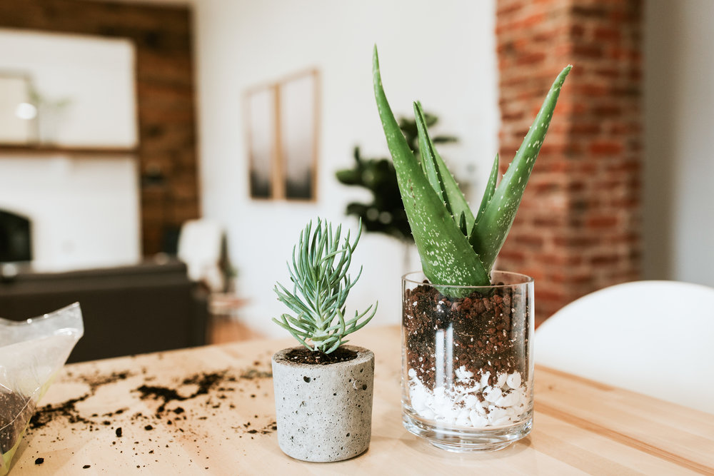 how to plant succulents and keep them alive - aloe vera, soil, rocks, modern planters