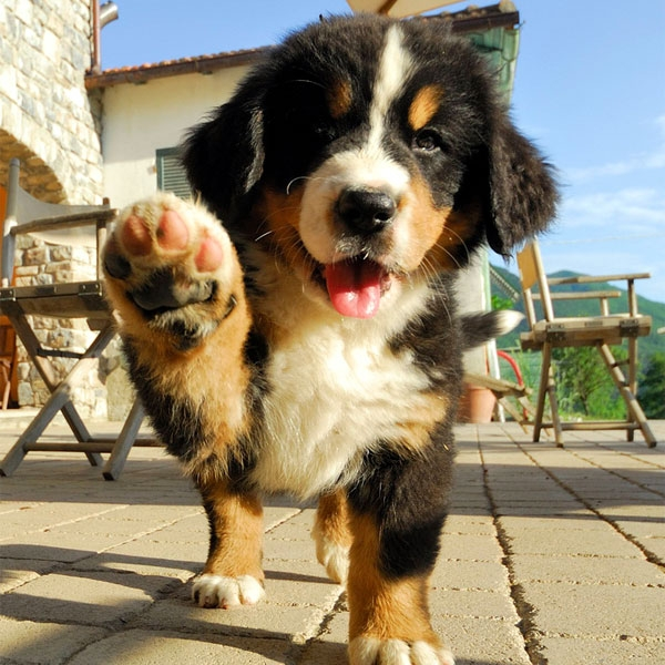 bernese-mountain-dog-puppies-04