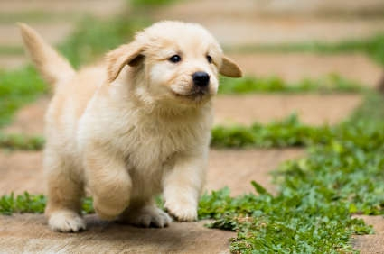 golden-retriever5