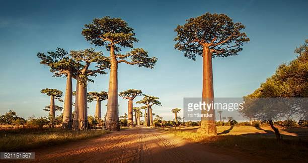 Baobab Oil -
