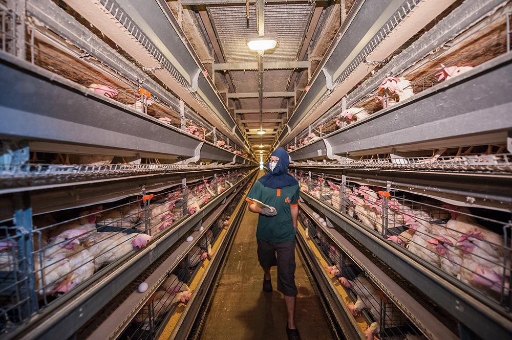 農場內專業的飼養員隨時監控雞隻健康狀況
