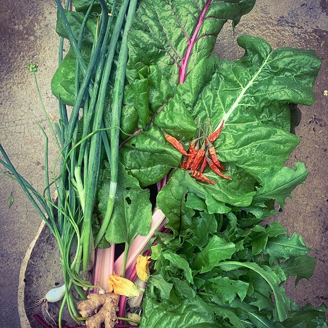 Dandelion, chard, and beet green kimchi with wild onions and squash blossoms.  Fermented foods are a great way to take nutritionally dense foods and increase their nutritional content, while feeding your beneficial bacteria and healing your gut.