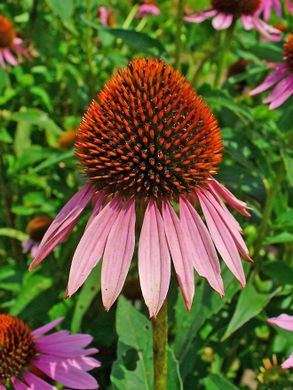 http___upload.wikimedia.org_wikipedia_commons_1_1e_Echinacea_purpurea_002.JPG