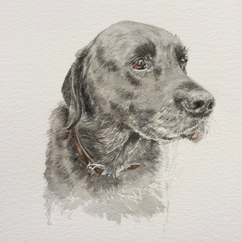 Oliver, 16 year old labrador, watercolour