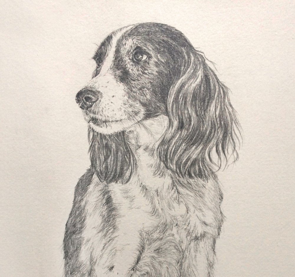 Spaniel, pencil on hand made paper