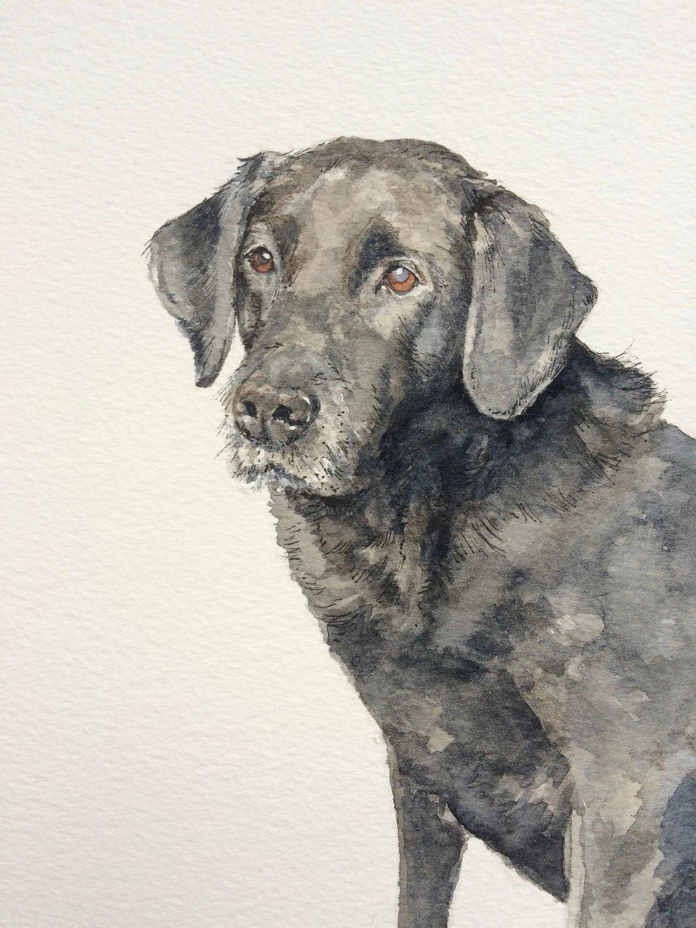 Labrador, watercolour