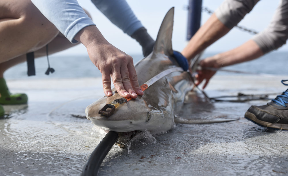 Jayne Gardiner of the New College of Florida, left, and Jack Morris of the Mote Marine Lab, measure the length of a male Blacktip shark brought aboard. A hose spouting sea water, called a resuscitation hose, is placed in the shark's mouth to allow water to flow across its gills, enabling the animal to breathe while on the boat.