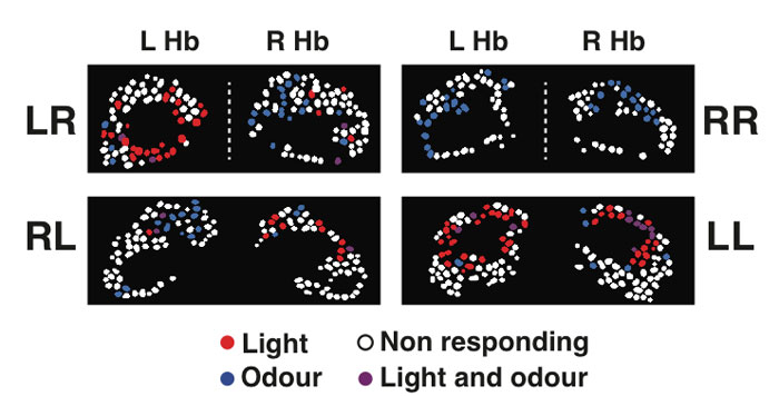 Figure 2. Examples of neuronal activity in the left and right habenular nuclei (L Hb and R Hb) of four different four-day old fish with normal left-right habenular laterality (LR), reversed laterality (RL), symmetric double-right (RR) and symmetric double-left (LL) habenulae showing lateralization of neuronal responses to light and odour. Neuronal cell bodies are shown as dots colour-coded in red, blue, violet, or white depending on whether they responded to light, odour, both light and odour, or were non-responding.