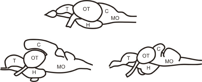 Figure 1. Brain diversity in ray-finned fishes. Simplified schematic drawings of three brains from otophysans (members of the 'Otophysi clade', that is, a subgroup within ray-finned fishes). Top: zebrafish, bottom left: catfish; bottom right: goldfish. Note how different these brains look despite being from relatively close related species. Abbreviations mark some common divisions or regions in the brain: C, cerebellum; H, hypothalamus; MO, medulla oblongata; OT, optic tectum; T, telencephalon.