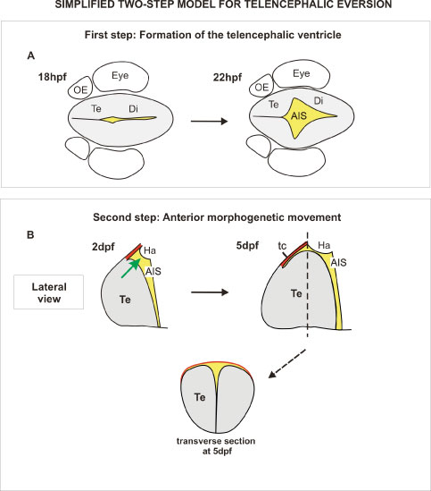 Figure 6: 'Simplified' two step model for telencephalic eversion in zebrafish (you can find the full version in our paper). Summary diagrams illustrate the major morphogenetic movements leading to the everted telencephalon in the zebrafish brain. A. First, at around 18hpf, an out-pocketing of the ventricular surface forms the anterior intraencephalic sulcus (AIS) with its diamond shaped roof (not shown here). B. Next, between 2dpf and 5dpf, the telencephalon grows along the AP axis and bulges into the AIS (green arrow). During this phase, the roof of the AIS also expands along the AP axis to form the 'tela choroidea' (the presence of an extended 'tela choroidea' is a characteristic trait of everted telencephali). Transverse section through the level indicated at 5dpf (dotted line) shows that the telencephalon has acquired its standard everted morphology at this stage. AIS, anterior intraencephalic sulcus; Di, diencephalon; Ha, habenula; OB, olfactory bulb; OE, olfactory epithelium; P, posterior; tc: tela choroidea; Te: telencephalon.