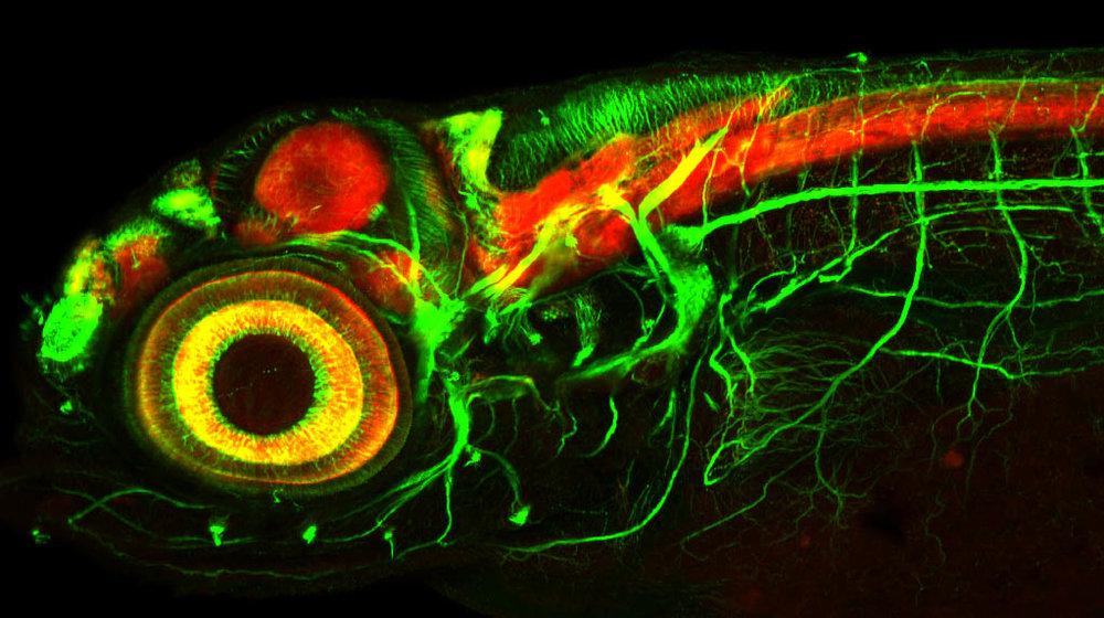 Neuronal tract labelling (green) and neuropil (red) in 4dpf brain, lateral view