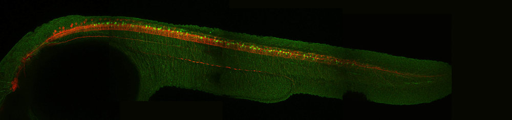 Glycinergic neurons in the spinal cord(48hpf)