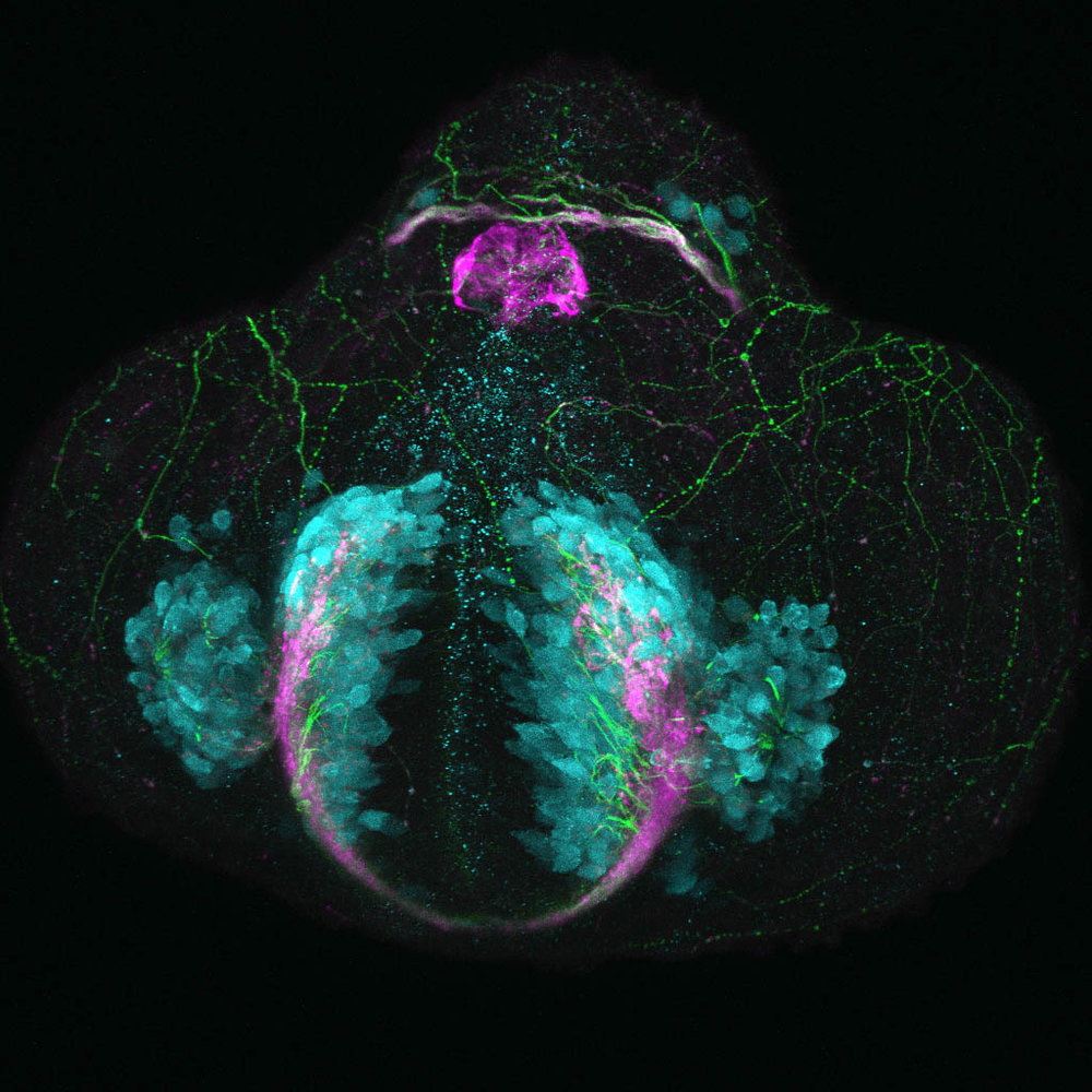 Glutamatergic neurons in the zebrafish telencephalon