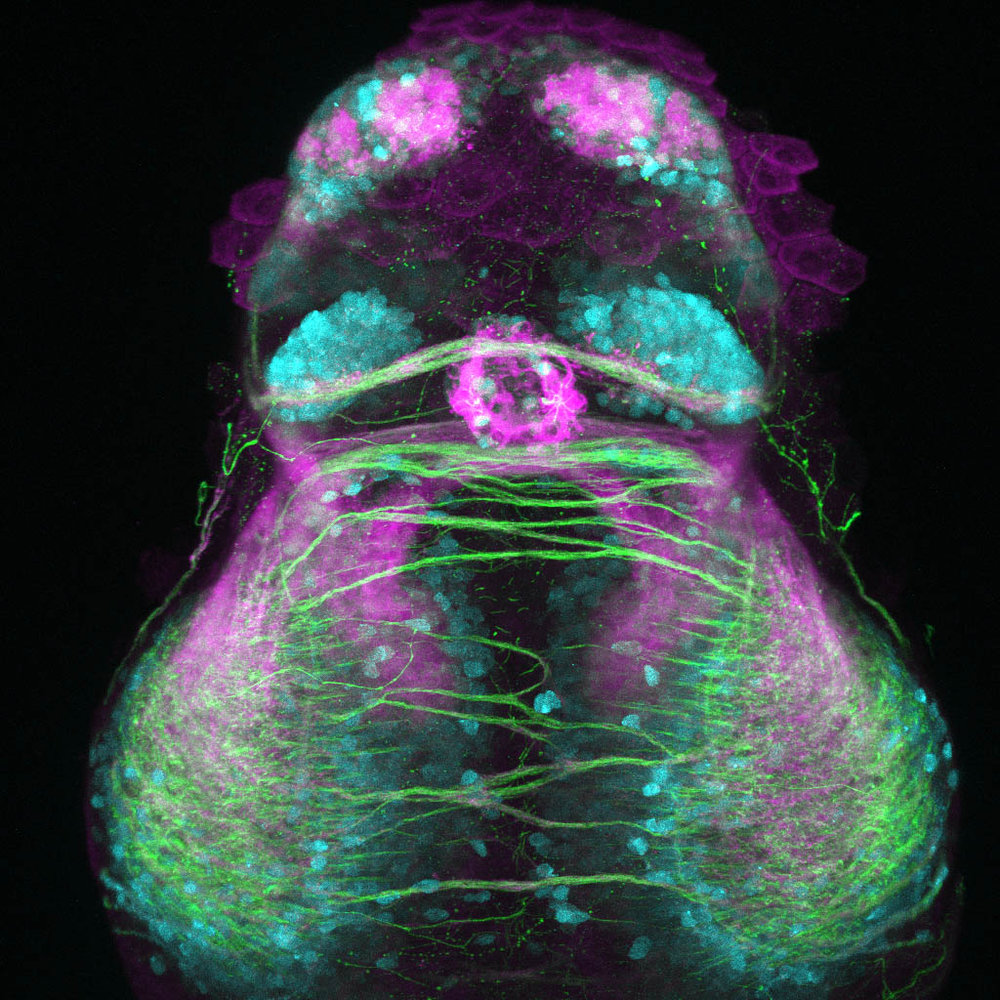 Glutamatergic neurons in the early zebrafish forebrain