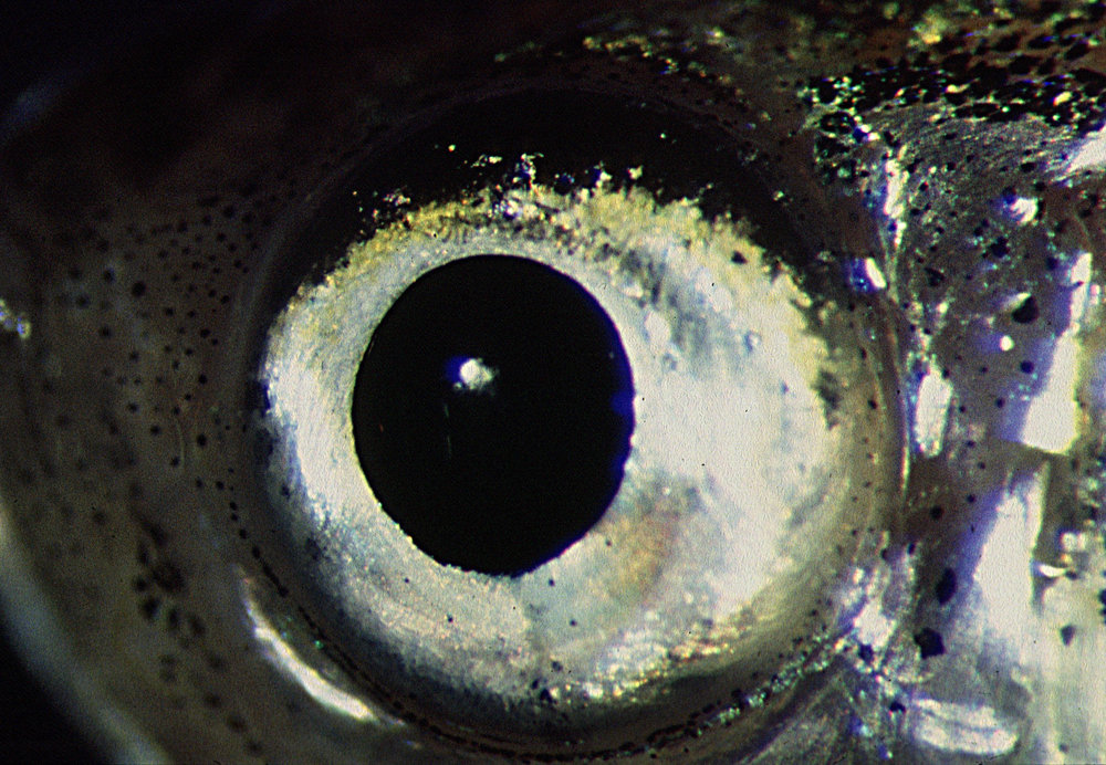 Adult zebrafish eye