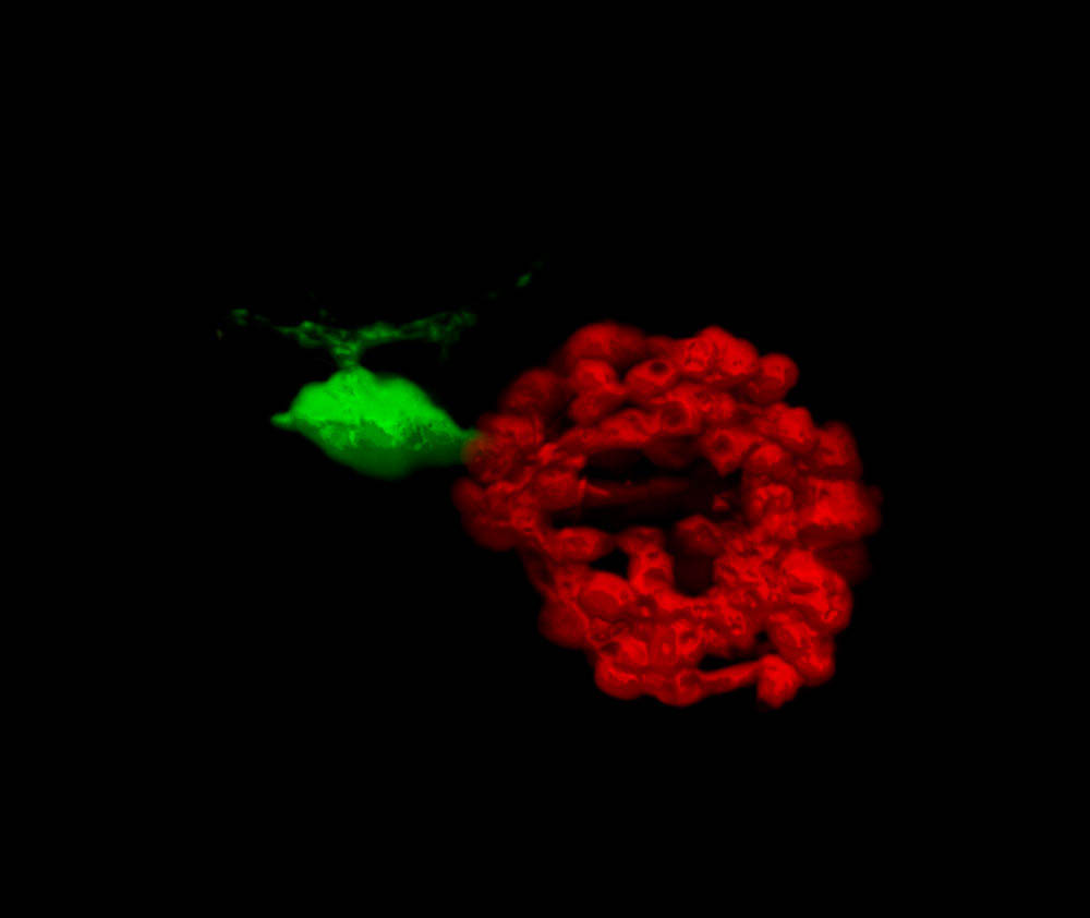 The pineal organ labelled in red and the left-sided parapineal nucleus in green 2