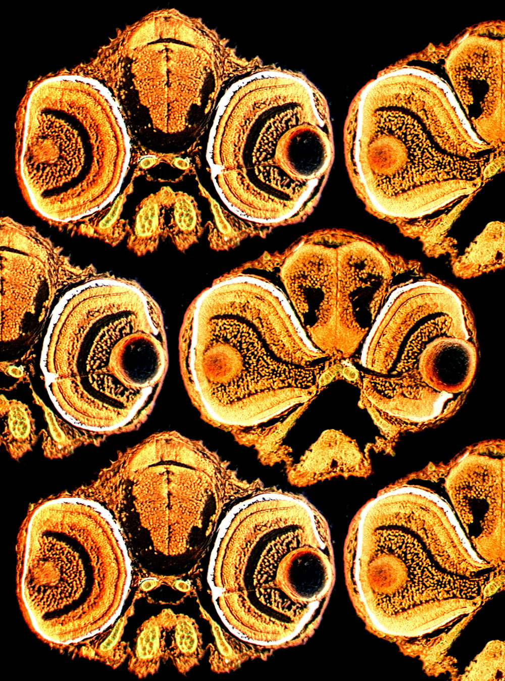 Transverse sections of zebrafish heads frontal view (orange) (cover)