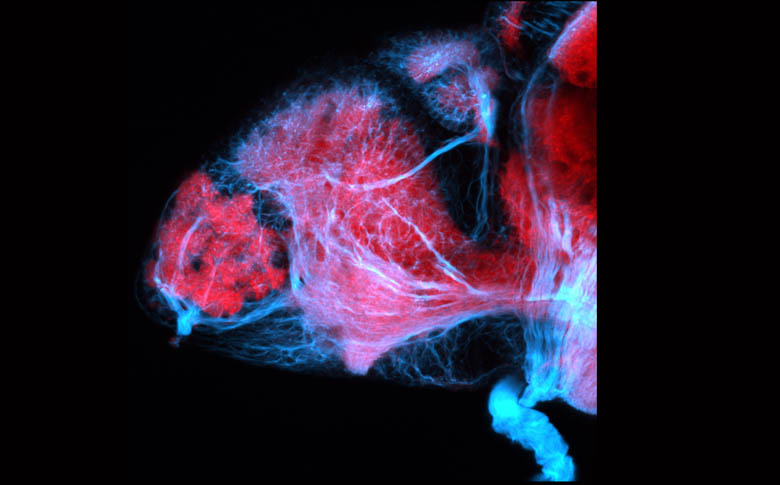 Lateral view of the forebrain of a zebrafish larva showing axons (blue) and neuropil (pink).