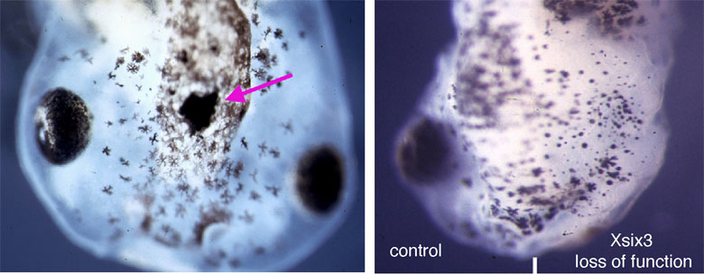Figure 1. Pictures of the heads of frog tadpoles the black blobs are the forming eyes. In the tadpole on the left there is a small extra eye on top of the head when there is too much Six3 protein and the tadpole on the right is missing an eye due to lacking Six3 protein on one side of its brain.