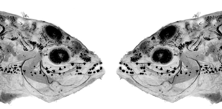 Mirror symmetric image of cavefish embryo