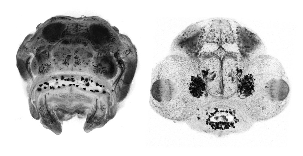 Frontal view of cavefish and zebrafish embryos