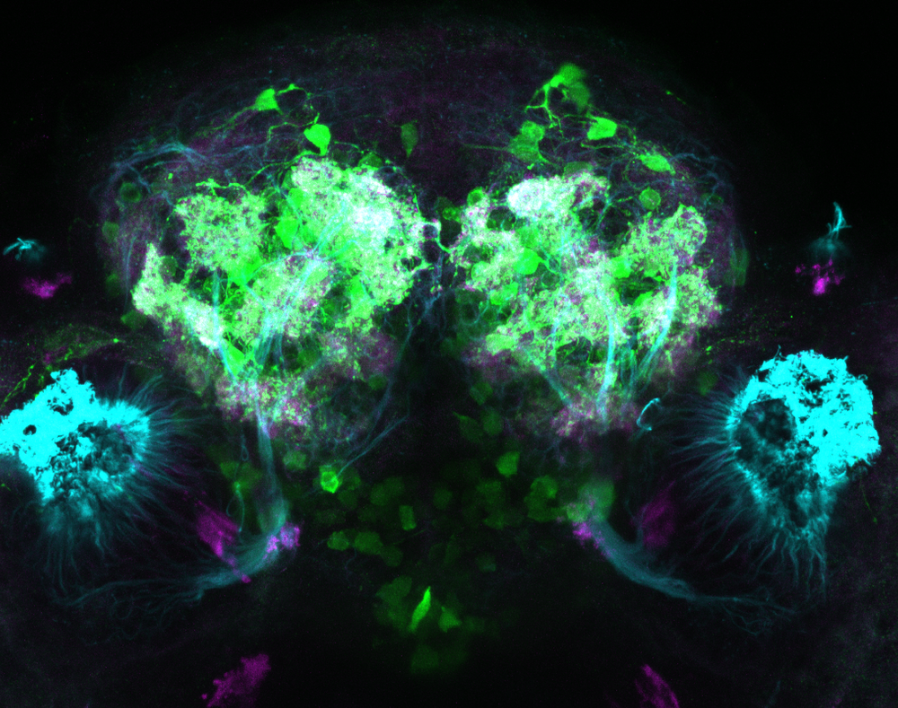 Olfactory glomeruli in Tg(1.4dlx5a-dlx6a:GFP)ot1 labelled with GFP, tubulin and sv2