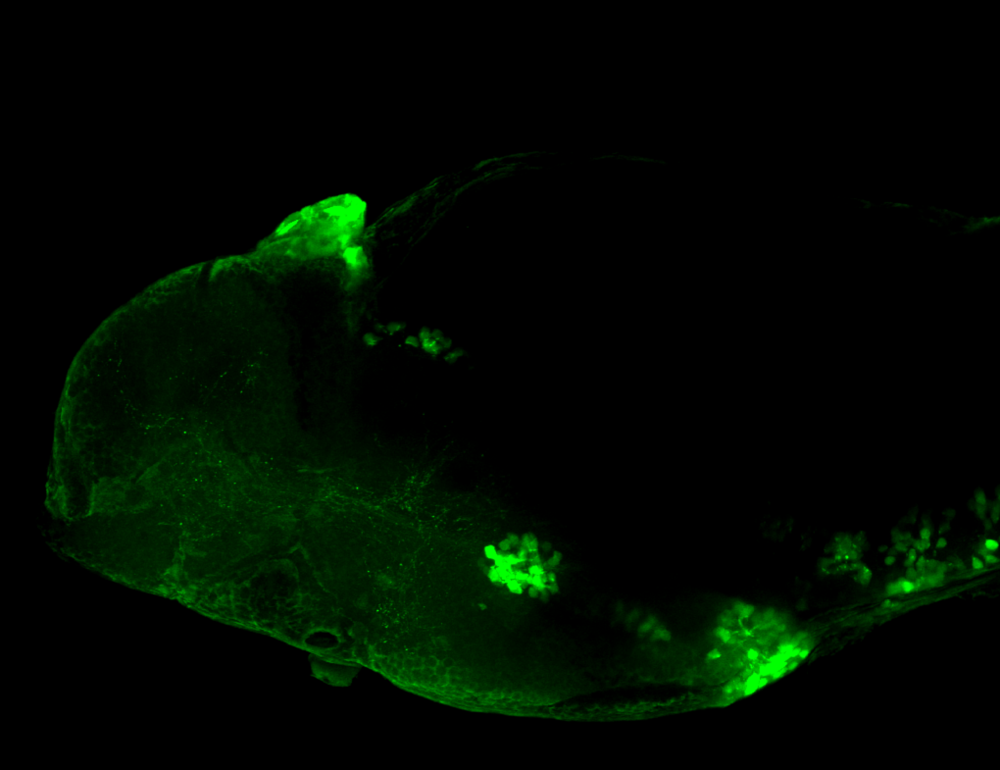 5-HT 4dpf lateral view