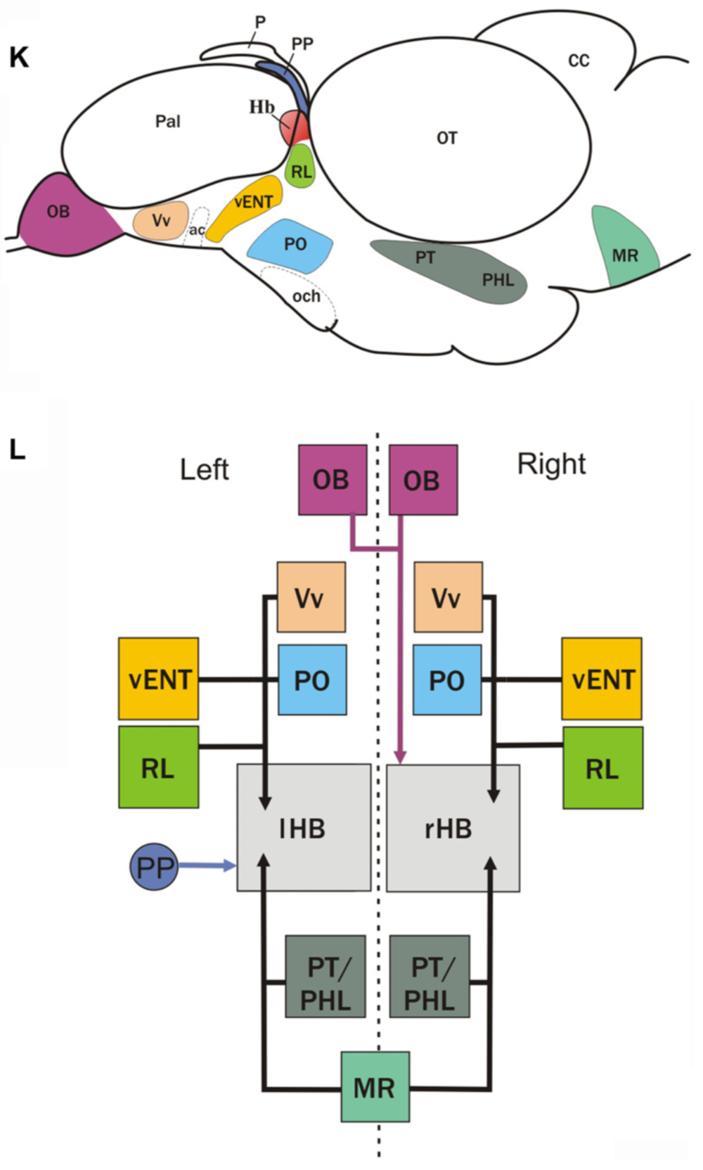 Schematics showing a summary of the main afferent areas to the habenula   from Turner et al., 2016.   ( K : outline of the brain in lateral view,  L : boxes diagram).  (K)  The brain nuclei that project to the habenula are shown as colored areas.  (L)  Boxes represent main nuclei projecting to the habenula, while arrows represent projections. Asymmetric projection from the parapineal (PP) to left habenula (lHB) is shown with a blue arrow. Asymmetric projection from mitral cells of the olfactory bulbs (OB) to right habenula (rHB) is shown with a pink arrow. All other afferent areas that seem to innervate both left and right habenula are represented with black arrows.