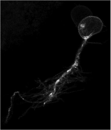 A Left habenular neuron visualised by focal electroporation with a construct driving the expression of membrane GFP. Habenular cells have a rounded nucleus and are mono polar, projecting their dendrites inwards to form the dense neuropil of the habenulae (Image courtesy of Isaac Bianco taken from Bianco et al, 2008).