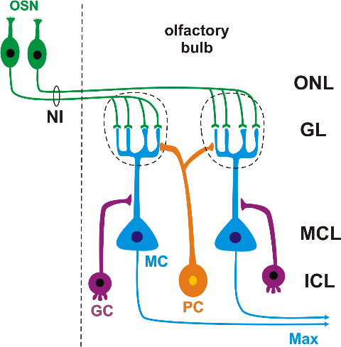 Schematic of olfactory bulb cytoarchitecture   abbreviations: GC granule cell; GL glomerular layer; ICL inner cellular layer; MC mitral cell;MCL mitral cell layer; NI cranial nerve I/olfactory nerve; ONL outer layer of primary olfactory afferents; OSN olfactory sensory neuron; PC periglomerular cell.