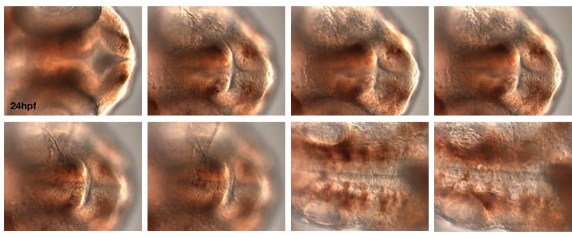 AchE_24h_ventral_40x.jpg
