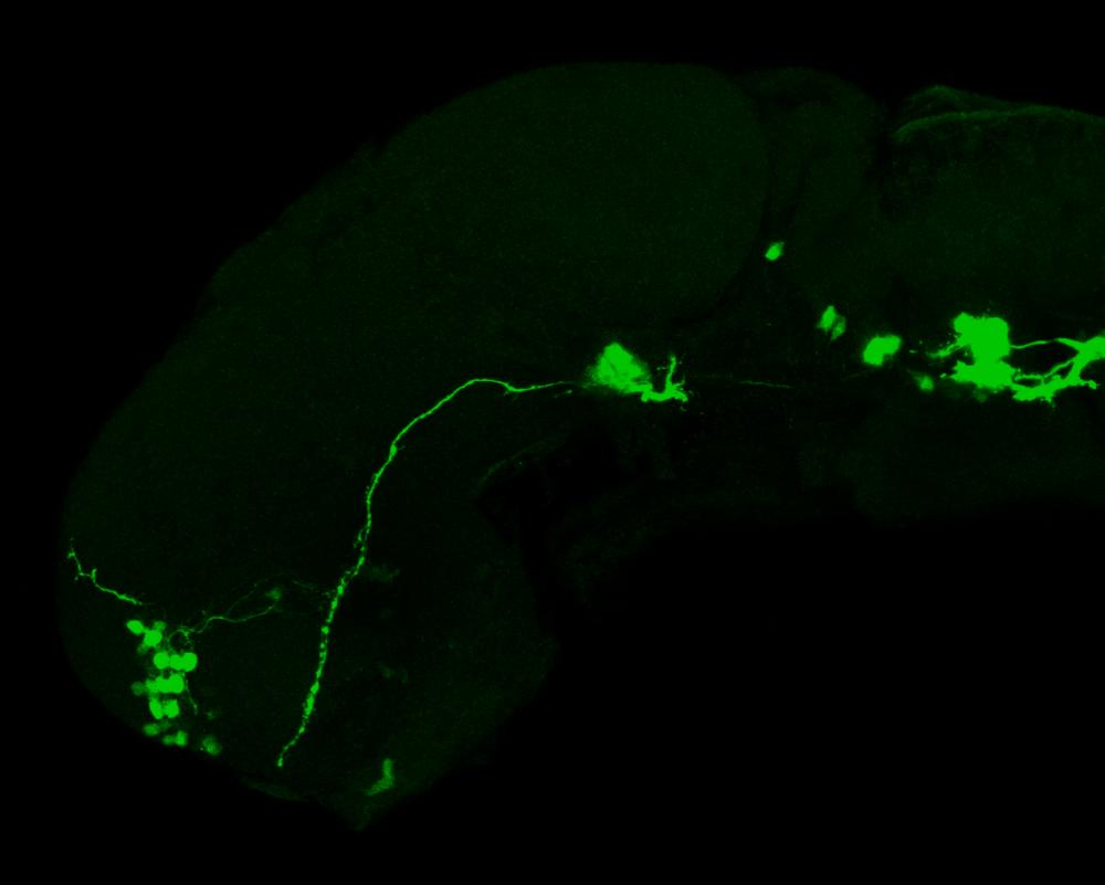 isl1:GFP lateral 1dpf