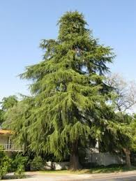 Utah's worse allergy offender...The Cedar!