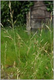 Meadow Fescue grass