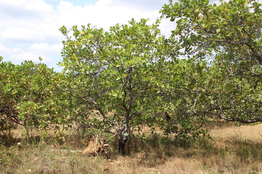 A cashew nut tree.