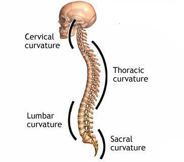 Notice the sacrum remains curved in the same direction as the mid back.