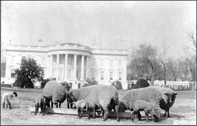 sheeponthesouthlawn.jpg
