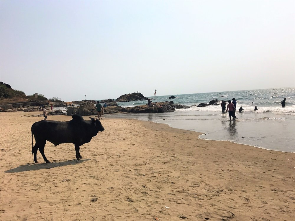 Cow on Vagator Beach
