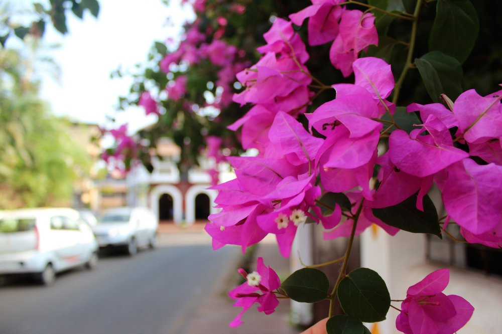 Flowers in Old Town Panjim