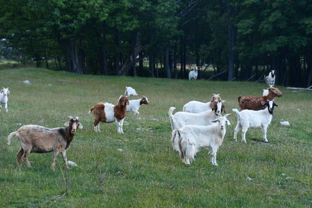 Funny Goats.