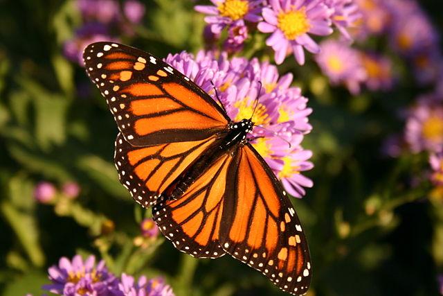 monarchtotem.jpg