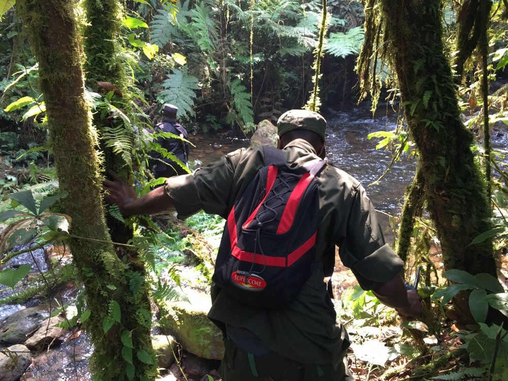 The Ultimate Guide To Mountain Gorilla Tracking In Uganda 13.jpeg