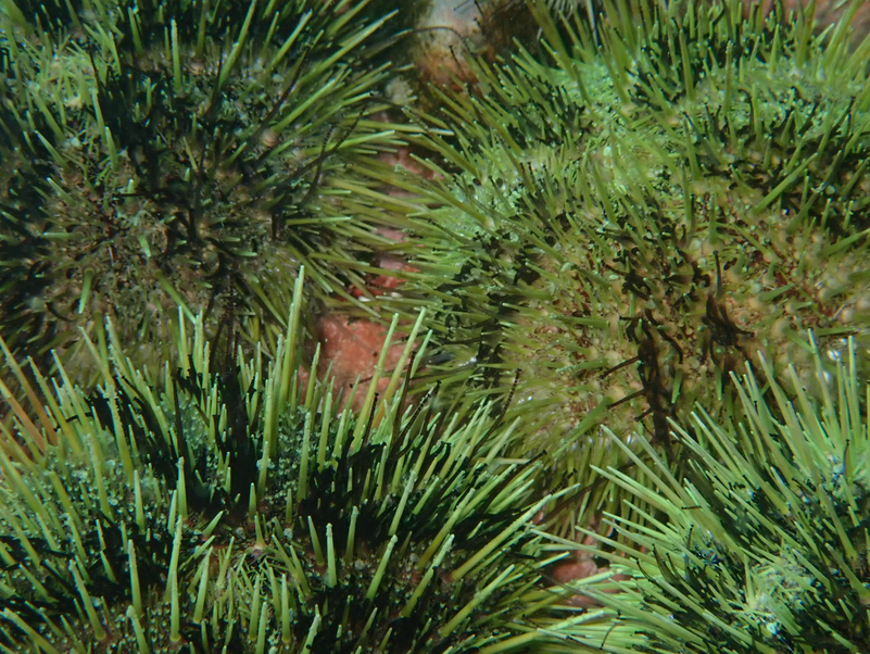 green_sea_urchin_2.png